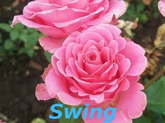 Роза спрей Свинг\ Swing
