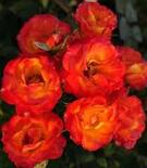 Роза бордюрная Тайфун