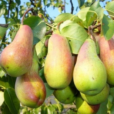 Дерево-сад Груша 3 сорта, 2-х летняя