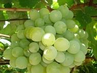 Виноград Талисман (Кеша1)