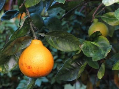 Дерево-сад танжело+лимон Киевский крупноплодный