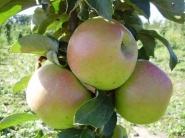Яблоня колоновидная Таскан