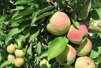 Колоновидная яблоня Телеймон