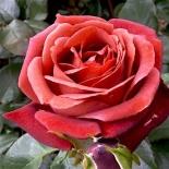 Роза чайно-гибридная Терракотта/Terracotta