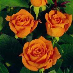 Роза чайно-гибридная Ти Тайм