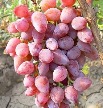 Виноград Тимур розовый