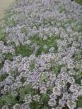 Тимьян моховидный