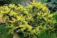 Тис ягодный Elegantissima \ Taxus baccata Elegantissima