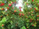 Тис ягодный\Taxus baccata