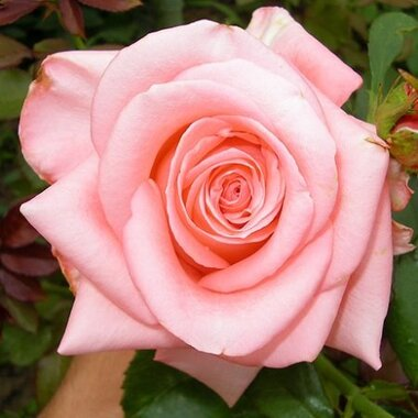 Роза чайно-гибридная Титаник