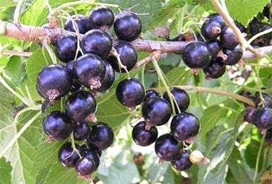 Смородина чёрная Титания