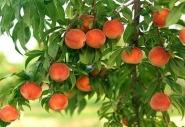 """Персик колоновидный """"Тотем садовода"""""""