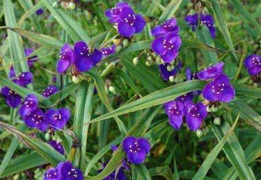 Традесканция (Tradescantia) виргинская фиолетовая