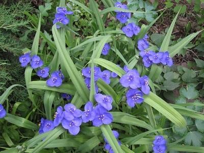 Традисканция виргинская синяя