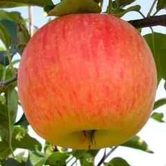 Яблоня Целеста (Германия)