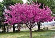 Церцис европейский, Багрянник европейский, Иудино дерево