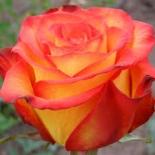 """Роза чайно-гибридная """"Циркус"""""""