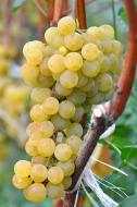Виноград Цитронный