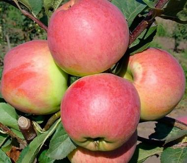 Яблоня Цвет Каролины (Германия)