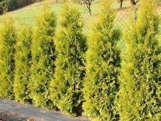 Туя западная Солланд(контейнер)\Thuja occidentalis Salland