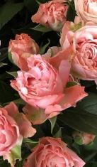 Роза спрей Леди Бомбастик