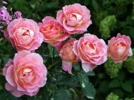 Роза чайно-гибридная Элли