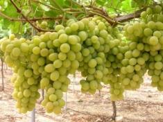 Виноград Фаворит