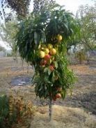 Колоновидный гибрид персик-нектарин Роман
