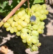 Виноград Валёк