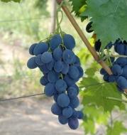 Виноград Валентин