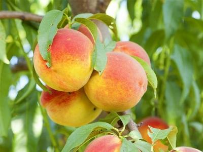 Персик Валиант