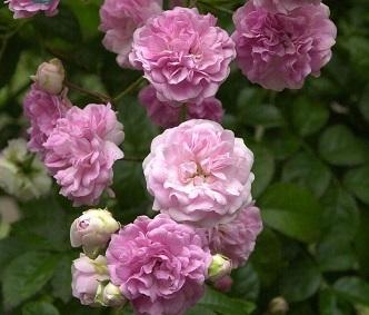 Роза плетистая Вартбург