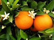 Дерево-сад лимон Киевский крупниплодный+ апельсин Вашингтон Навел