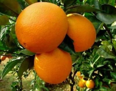 """Апельсин """"Вашингтон навел"""""""