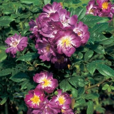 Роза плетистая Вельхенблау/Veilchenblau