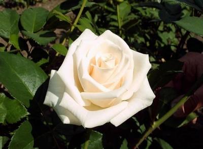 Роза чайно - гибридная Венделла