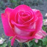 Роза ч/г Верди