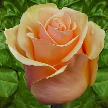 Роза чайно-гибридная Версилия/Versilia
