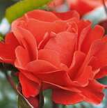 Роза флорибунда Вестпоинт
