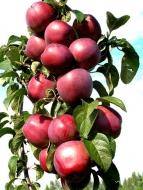 Яблоня колоновидная Виктория