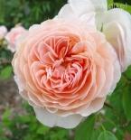 Роза английская William Morris