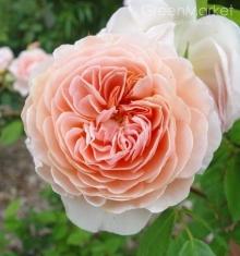 Роза английская Вильям Морис