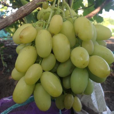 Виноград Иллария