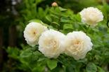 Роза английская Винчестер Кечедрал (шраб)