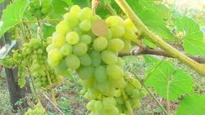 Виноград Светлана