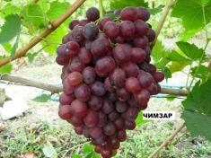 Виноград Чимзар