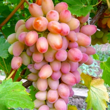 Виноград УХ-ТЫ