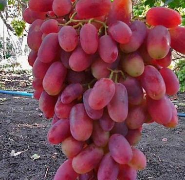 Виноград Преображение