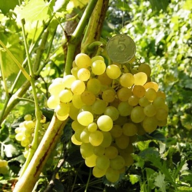 Виноград Злато