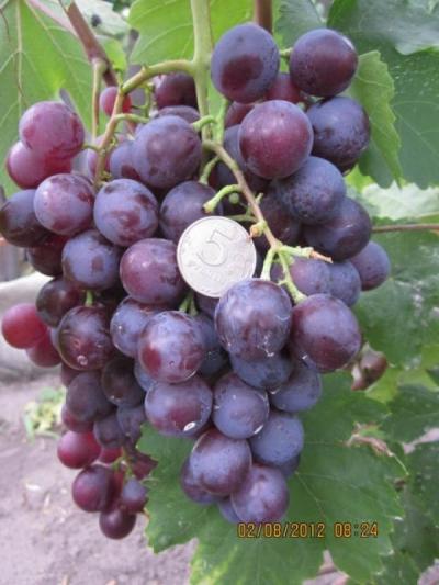 Виноград Аюта Мускат